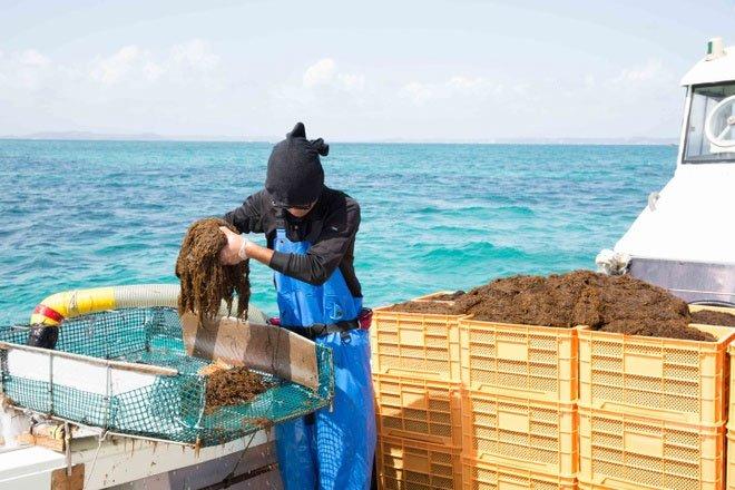 Lợi ích của tảo nâu Okinawa mozuku với sức khỏe