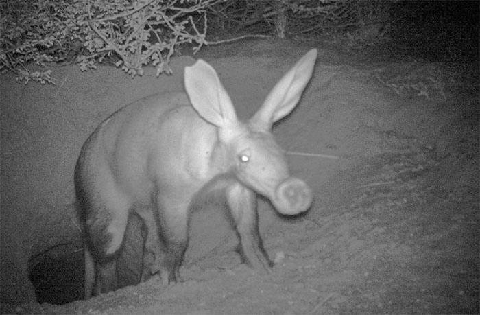 Lợn đất châu Phi đổi thói quen săn mồi từ đêm sang ngày
