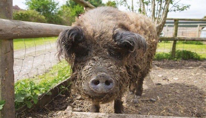 Lợn đội lốt cừu ba lần thoát khỏi lò mổ