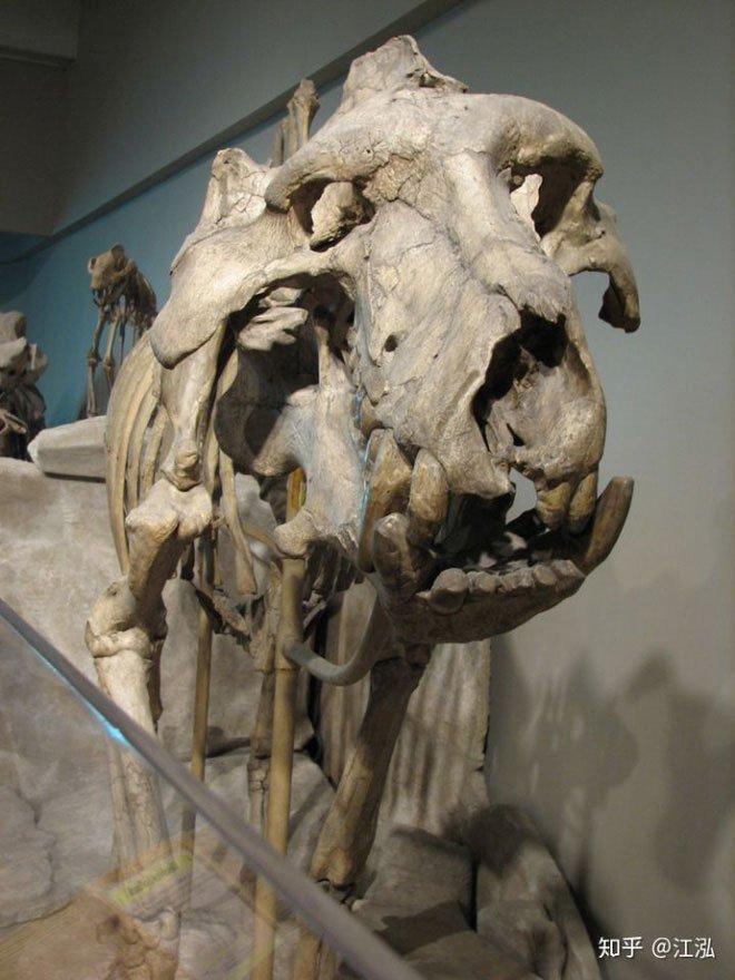 Lợn khổng lồ cổ đại: Kẻ khủng bố của Bắc Mỹ thời tiền sử