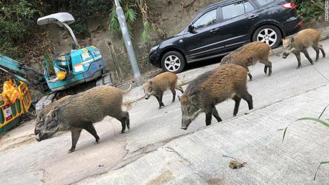 Lợn rừng tràn xuống phố phường Hong Kong