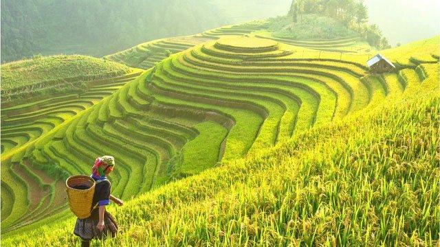 Lúa được bảo tồn an toàn ở ngân hàng gene Philippines