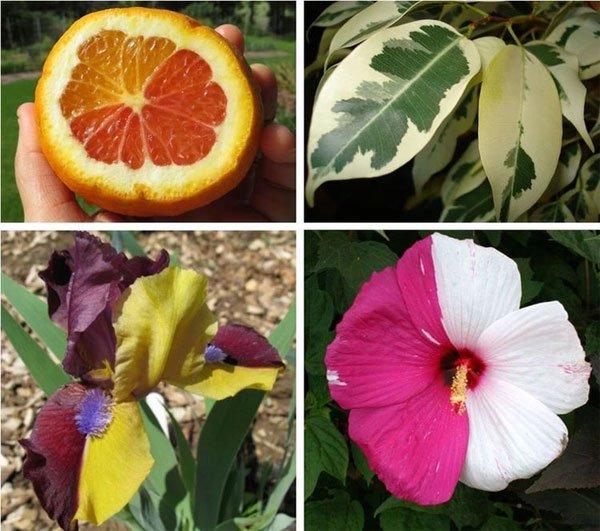 Lý giải sự đột biến tạo nên giá trị tiền tỷ của các loài thực vật