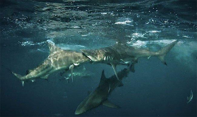 Mải nuốt mồi, cá mập vây đen ngoạm nhầm đầu đồng loại
