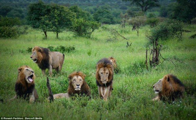 Mapogo: Liên minh 6 con sư tử đực thống lĩnh đồng cỏ Châu Phi