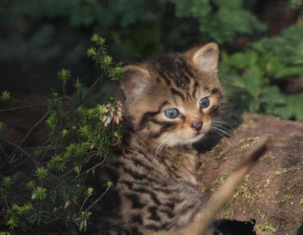 Mèo rừng mắt xanh quý hiếm chào đời trong sở thú Scotland