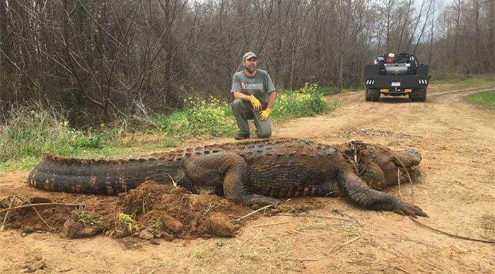 Mỹ: Bắt được cá sấu siêu khủng, to đến mức không ai tin là thật
