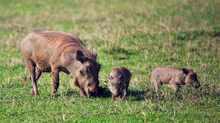 Năm Hợi tìm hiểu loài lợn cực thú vị: Mang ngà như voi, lại có đến 4 cái