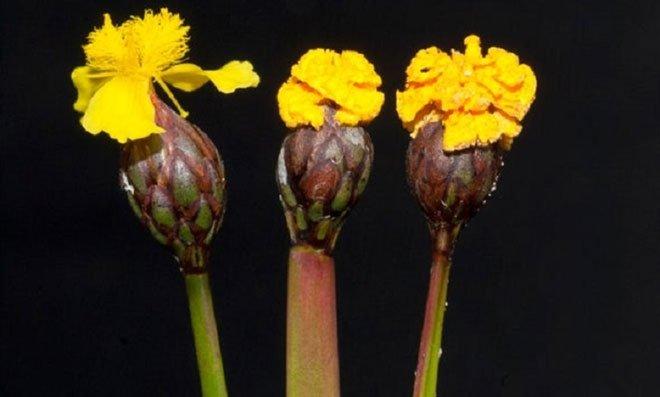 Nấm tinh quái, tạo hoa giả để đánh lừa ong và côn trùng tới thụ phấn