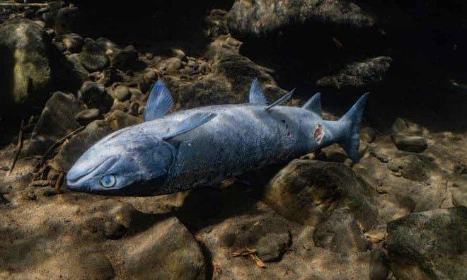 Nấm trắng kỳ lạ xuất hiện trên thân cá hồi Mỹ