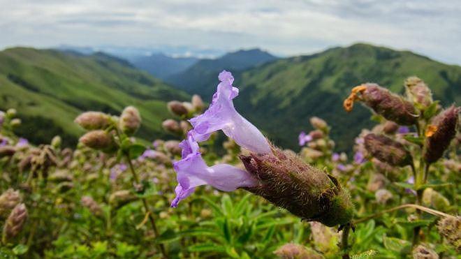 Neelakurinji, loài hoa hiếm chỉ nở 12 năm một lần ở Ấn Độ