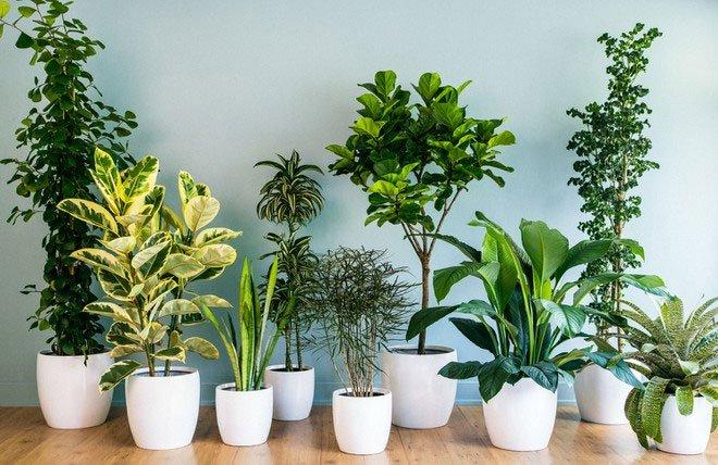 Nếu nghĩ trồng cây trong nhà có thể lọc sạch không khí, bạn đã sai!