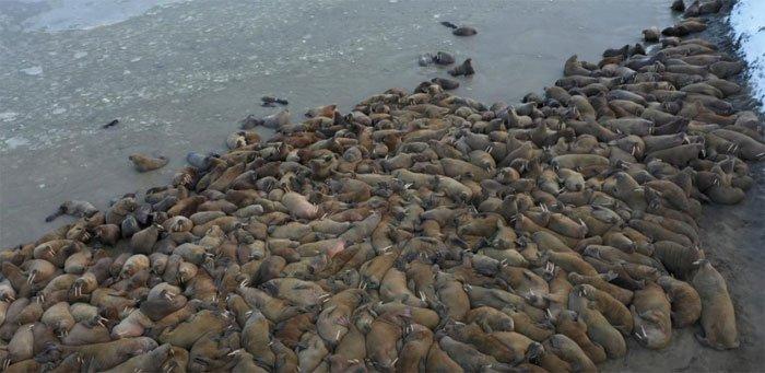 Nga phát hiện quần thể hải mã khổng lồ ở vòng Bắc Cực
