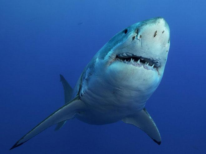 Nghiên cứu đáng lo ngại: 92% số cá mập trên thế giới đã bốc hơi chỉ trong 50 năm qua