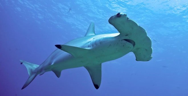 Nghiên cứu mới cho thấy loài cá mập búa có thể là giống thích ăn chay hơn ăn thịt