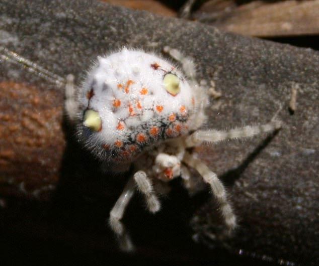 Người đàn ông hoảng hồn phát hiện con nhện trông như miếng sushi đang bò trong nhà