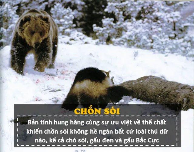 """""""Người sói"""" phiên bản thật 100%: Thể chất phi thường, hung hăng, tấn công cả gấu Bắc Cực"""