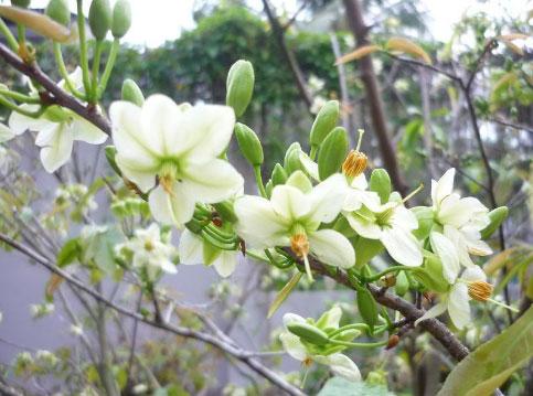 Nguồn gốc và ý nghĩa của cây hoa mai