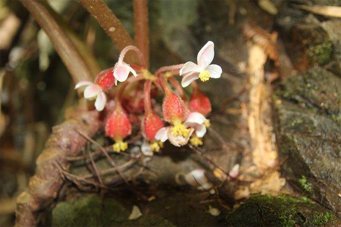 Nhà khoa học Việt phát hiện loài hoa mới cực quý hiếm