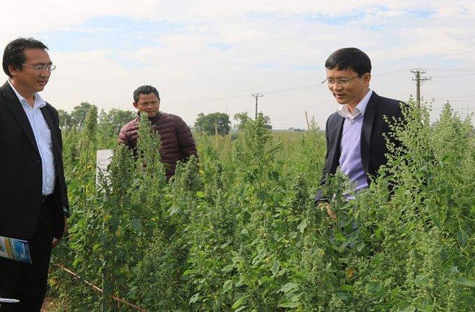 Nhà khoa học Việt tìm cách trồng diêm mạch trong vùng hạn mặn