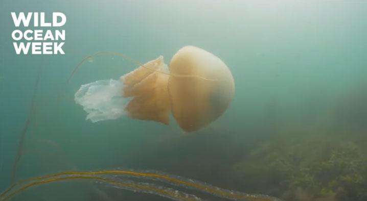 Nhà sinh vật chạm trán sứa thùng khổng lồ ở vùng biển Anh