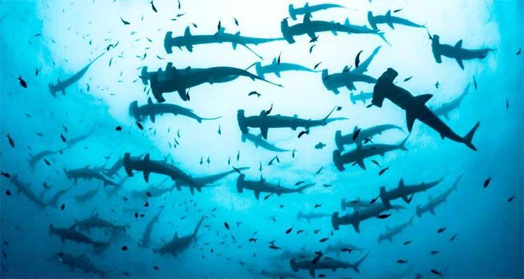 Nhà sinh vật học chạm trán đàn cá mập búa hàng trăm con