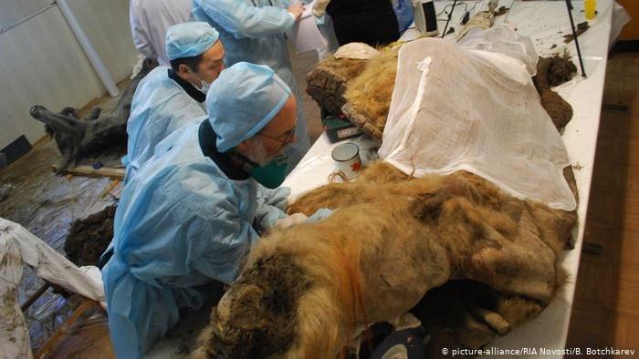Nhật Bản: Nhân bản tế bào 28.000 năm tuổi của voi ma mút