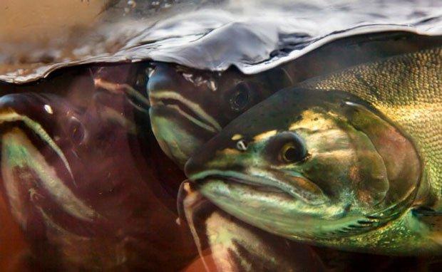 """Nhiều loài cá bị """"tăng động"""", thay đổi hành vi giao phối vì hóa chất thải xuống biển của con người"""