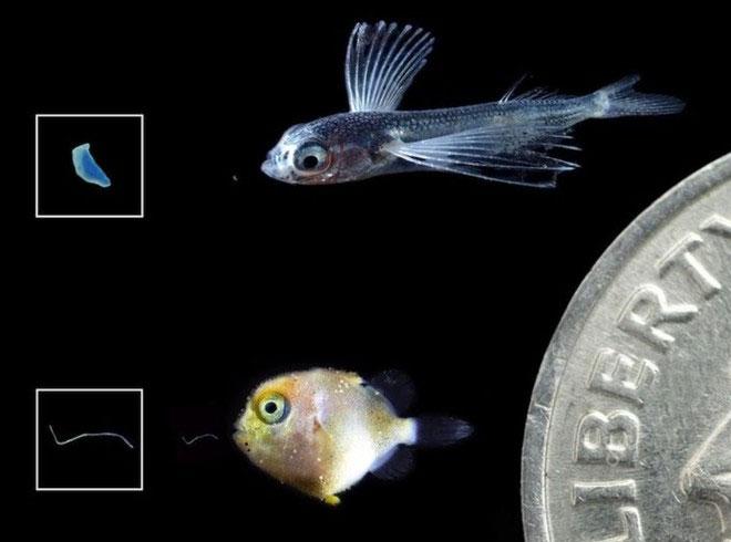 Nhựa siêu nhỏ đe dọa cá con và nguồn thức ăn của người