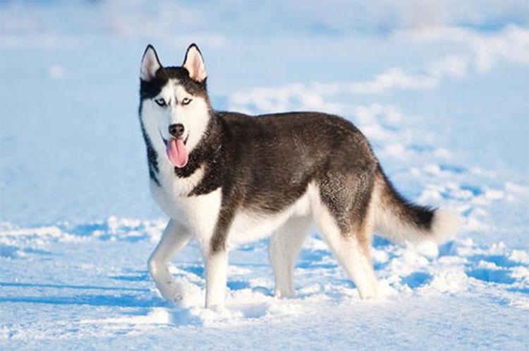 Những đặc điểm thú vị của giống chó Husky