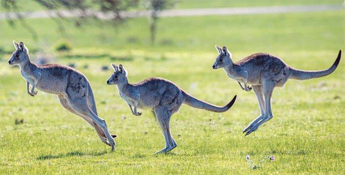 Những điều bất ngờ về loài kangaroo mà ít người biết