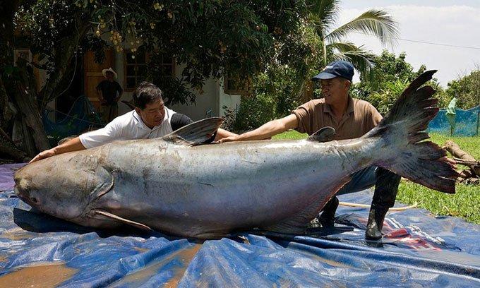 Những điều chưa biết về loài cá nước ngọt lớn nhất thế giới