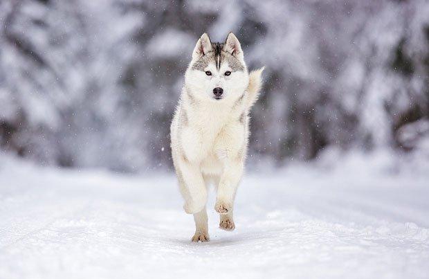 Những giống chó đẹp nhất thế giới