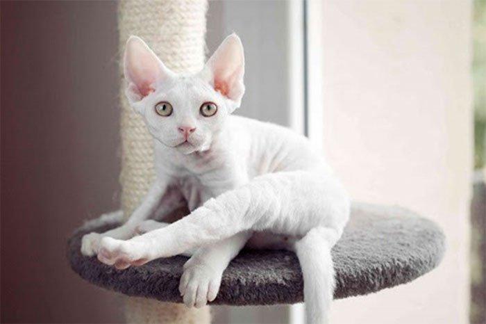 Những giống mèo thông minh nhất thế giới