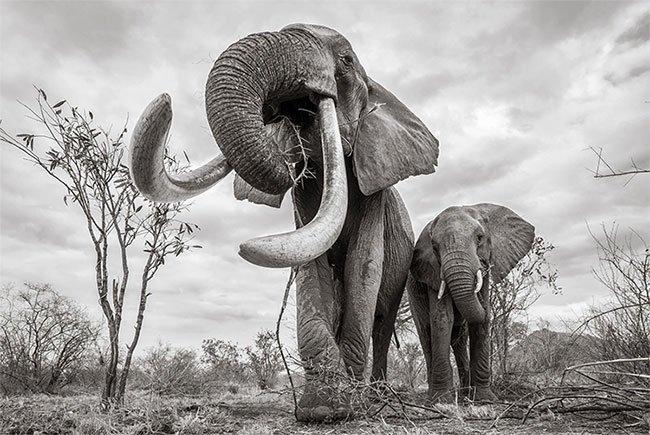 Những hình ảnh cuối cùng về con voi nữ hoàng của Kenya