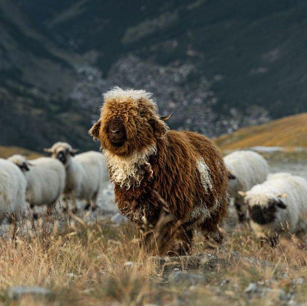 Những lần di truyền lỗi ở động vật cho ra kết quả cực hiếm thấy: Khỉ tay người, vịt hoàng tộc, chó bạch tạng
