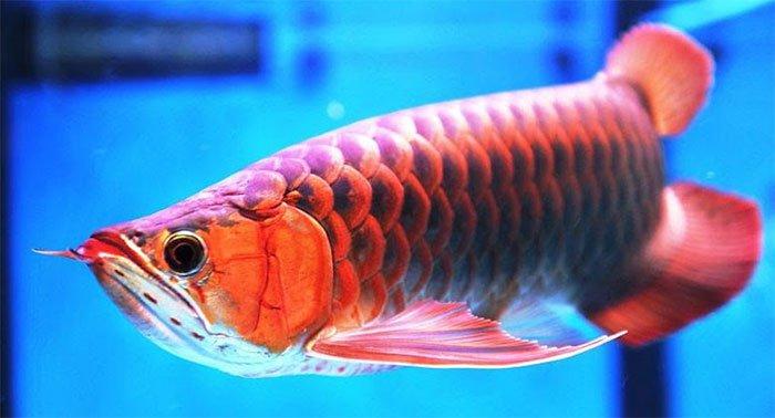 Những loài cá cảnh đẹp nhất
