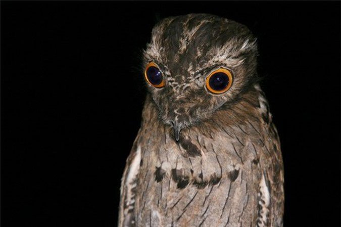 Những loài chim có vẻ ngoài hài hước nhưng lại rất nguy hiểm