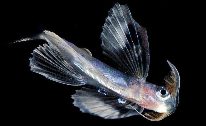 Những sinh vật biển phát sáng tuyệt đẹp của đáy Thái Bình Dương sẽ khiến bạn mê mẩn