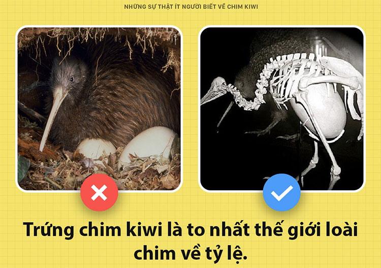 Những sự thật ít người biết về chim kiwi