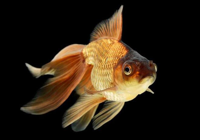 Những sự thật khó ai tin nổi về loài cá vàng