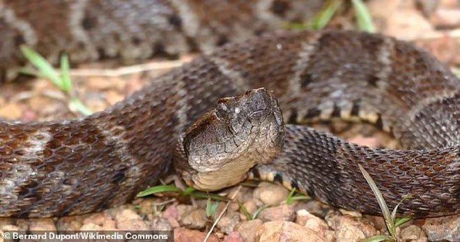 Nọc cực độc của rắn hổ có thể cứu sống con người