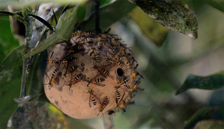 Nọc độc ong bắp cày có thể giúp con người chống lại siêu vi khuẩn