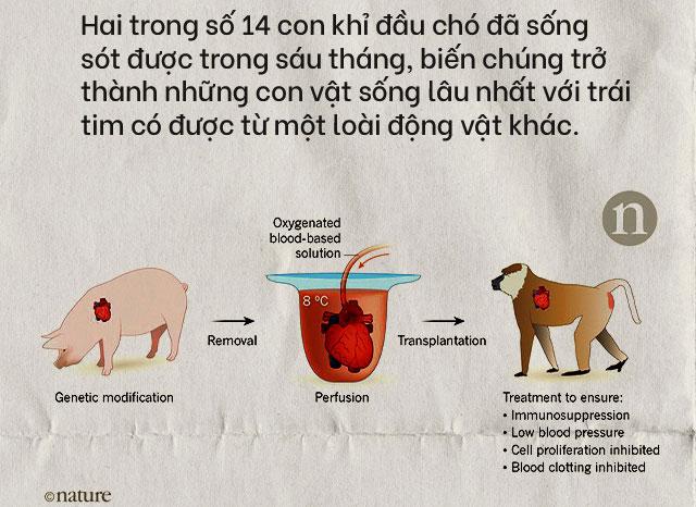 Nội tạng từ những con lợn không tên sẽ cứu sống hàng ngàn bệnh nhân tuyệt vọng