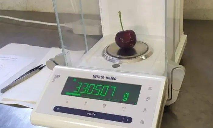 Nông dân Italia thu hoạch được quả cherry lớn nhất thế giới