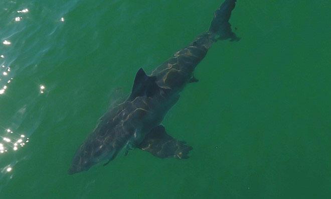 Nước ấm lên, biển ngoài khơi California hóa công viên cá mập trắng