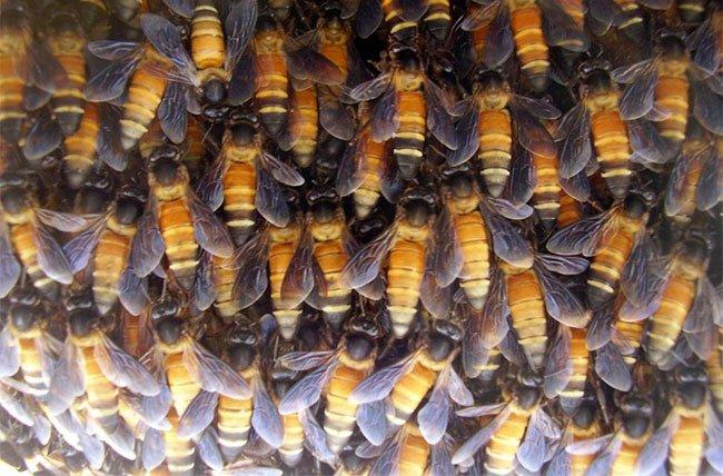 Ong khoái: Loài ong nguy hiểm nhất rừng rậm Đông Nam Á