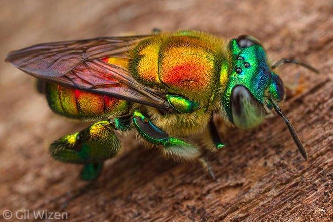 Ong phong lan, loài vật màu mè nhất trong thế giới côn trùng nhưng lại không biết làm mật