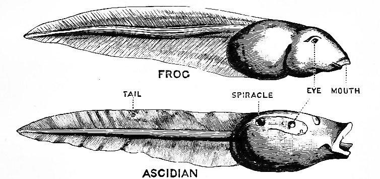 Pha dậy thì của loài hải tiêu: Lúc nhỏ xinh lắm ai ơi, lớn lên xấu xí tự xơi não mình