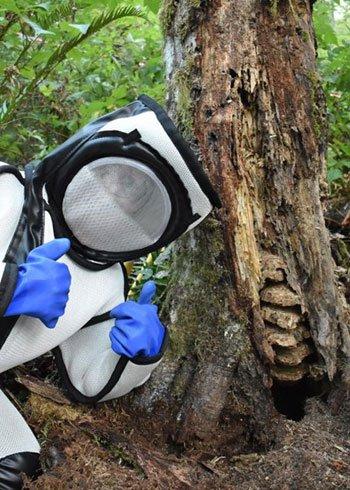 Phá tổ ong bắp cày sát thủ khổng lồ chứa tới 1.500 ấu trùng